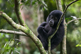 An Adolescent Gorilla Rests in a Tree in the Impenetrable Forest Photographic Print by Eric Kruszewski