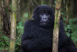 An Adolescent Mountain Gorilla, Gorilla Gorilla Beringei, Rests in the Forest of Bamboo Photographic Print by Eric Kruszewski