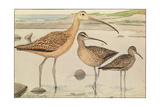A Painting of Three Species of Curlew Giclee Print by Louis Agassi Fuertes