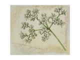 A Sprig of Mapleleaf Viburnum Blossoms Giclee Print by Mary E. Eaton