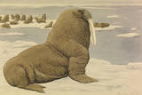A Painting of a Pacific Walrus Sitting on Ice in Front of the Herd Giclee Print by Louis Agassi Fuertes