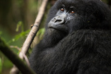 An Adolescent Mountain Gorilla, Gorilla Gorilla Beringei, Rests in the Forest Photographic Print by Eric Kruszewski