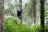 An Adult Gorilla Climbs a Tree in the Impenetrable Forest Photographic Print by Eric Kruszewski