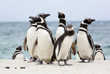 A Group of Magellenic Penguins, Spheniscus Magellanicus, on a Sandy Beach Photographic Print by Ira Meyer