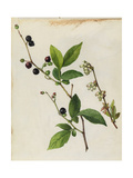 A Sprig of Black Highbush Blueberry Blossoms and Berries Giclee Print by Mary E. Eaton