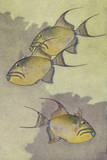 A Painting of Three Queen Triggerfish Giclee Print by Hashime Murayama