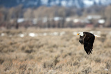 A Bald Eagle, Haliaeetus Leucocephalus, Flying Low over a Field Photographic Print by Robbie George