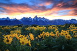 Alpine Sunflowers Illuminated by a Glowing Sunset over Snow-Capped Mountains Photographic Print by Robbie George