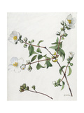 A Painting of a Sprig of Lewis' Mock Orange and its Blossom Giclee Print by Mary E. Eaton