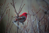 Portrait of a Male Pine Grosbeak, Pinicola Enucleator, Perched on a Tree Branch Papier Photo par Robbie George