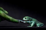 A Waxy Monkey Frog, Phyllomedusa Sauvagii, Reaches Out to Grab a Finger Painted Green Photographic Print by Robin Moore