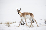 A Pronghorn Antelope, Antilocapra Americana, Walking in a Snowy Field Photographic Print by Robbie George