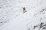 A Coyote, Canis Latrans, Looking over a Snowy Hill Photographic Print by Robbie George