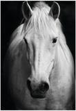 White Horse'S Black And White Art Portrait Poster