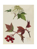 A Sprig of European Cranberrybush Berries and Blossoms Giclee Print by Mary E. Eaton