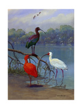 Various Ibis Perch Lakeside Giclee Print by Allan Brooks