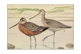 A Painting of Hudsonian Godwits in Summer and Winter Plumage Giclée-tryk af Louis Agassi Fuertes