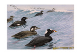 A Painting of Several Species of Scoter Swimming Giclee Print by Louis Agassi Fuertes