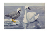 Two Brant Species Stand on a Beach Giclee Print by Louis Agassi Fuertes