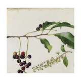 A Sprig of Black Cherry Tree Blossoms and Berries Giclee Print by Mary E. Eaton