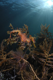 Portrait of a Leafy Seadragon, Phycodurus Eques, Among Feathery Seaweeds Photographic Print by Jeff Wildermuth