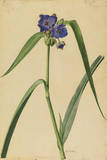 This Plant Is a Member of the Spiderwort Family Giclee Print by Mary E. Eaton