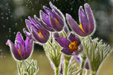 Pasque Flowers (Pulsatilla Vulgaris) in Rain, Lorraine, France, April Photographic Print by Michel Poinsignon