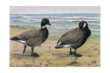 A Painting of an Emperor Goose and a Trumpeter Swan Giclee Print by Louis Agassi Fuertes