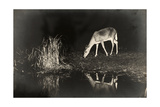 A View of a Red Deer's Reflection in the Lake as it Eats Papier Photo par George Shiras