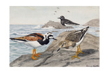 A Painting of a Pair of Ruddy Turnstones and a Black Turnstone Giclee Print by Louis Agassi Fuertes