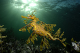 Portrait of a Leafy Seadragon, Phycodurus Eques, Among Feathery Seaweeds Reproduction photographique par Jeff Wildermuth