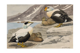 A Painting of a Pair of Pacific Eiders and a Pair of King Eiders Giclee Print by Louis Agassi Fuertes