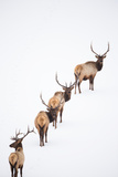 A Group of Elk Cross an Ice and Snow-Covered Lake in a Totally White Landscape Stampa fotografica di Robbie George