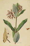 This Plant Is a Member of the Milkweed Family Giclee Print by Mary E. Eaton