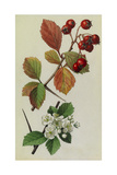 A Sprig of Fleshy Hawthorn Tree Berries and Blossoms Giclee Print by Mary E. Eaton