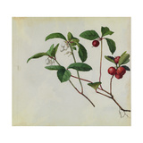 A Sprig of Eastern Teaberry Blossoms and Berries Giclee Print by Mary E. Eaton