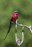 Portrait of a Southern Carmine Bee-Eater, Merops Nubicoides, Perching on a Branch Reproduction photographique par Sergio Pitamitz