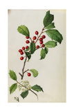 A Sprig of American Holly Tree Berries and Blossoms Giclee Print by Mary E. Eaton