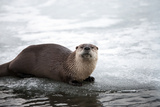 A Northern River Otter, Lutra Canadensis, Pauses on the Ice at the Edge of a Frozen River Photographic Print by Robbie George