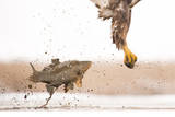 White-Tailed Eagle (Haliaeetus Albicilla) with Muddy Fish Slipping from its Claws Photographic Print by Bence Mate