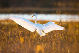 Portrait of a Great Egret, Ardea Alba, Landing in a Marsh Photographic Print by Robbie George