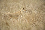 Portrait of a Well-Camouflaged Lioness, Panthera Leo, in Tall Grass Photographic Print by Bob Smith