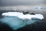 Leopard Seal (Hydrurga Leptonyx) Resting on Iceberg, Gerlache Strait, Antarctica Photographic Print by Enrique Lopez-Tapia