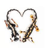 A Conservationist Body Painted with a Luristan Newt, Neuergus Kaiseri, in the Shape of a Heart Photographic Print by Robin Moore