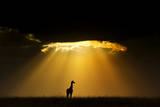 Maasai Giraffe (Giraffa Camelopardalis Tippelskirchi) Silhouetted by Setting Sun, Kenya Photographic Print by Andy Rouse