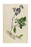 A Sprig of Highbush Blueberry Blossoms and Berries Giclee Print by Mary E. Eaton