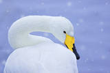 Whooper Swan (Cygnus Cygnus) in Snowfall. Martin Mere Wetlands Trust, Lancashire,Uk Photographic Print by Ben Hall