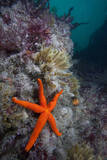 Red Sea Star (Echinaster Sepositus) and Bryozoans Fauna. Channel Islands, UK July Photographic Print by Sue Daly