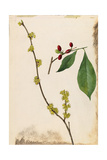 A Sprig of Northern Spicebush Shrub Berries and Blossoms Giclee Print by Mary E. Eaton