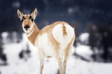 Portrait of a Pronghorn, Antilocapra Americana, in a Snowy Landscape Photographic Print by Robbie George